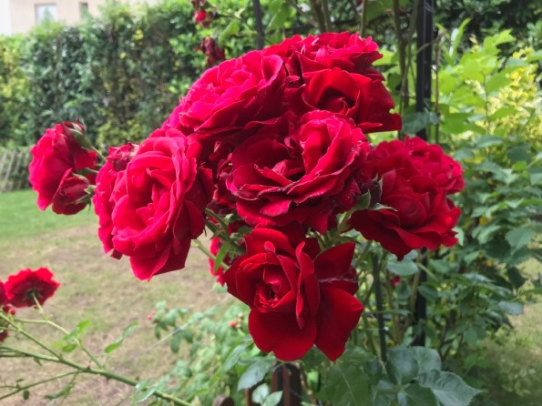 Roses_du_jardin.jpg